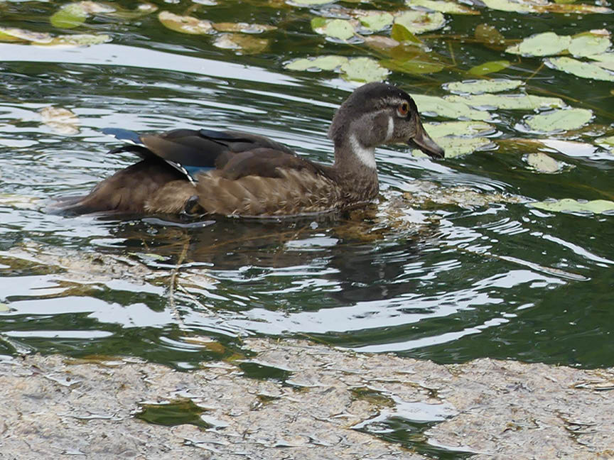 ALS -wood duck female.jpg