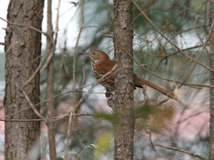 brown thrasher.jpg