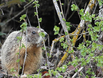 FBS-marmot.jpg