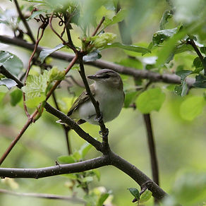 red eyed vireo2.jpg