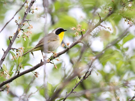 common yellowthroat.jpg