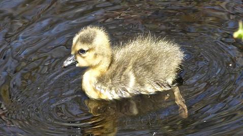 ALS-duckling.jpg