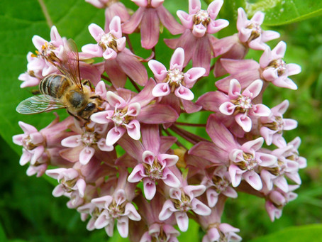 Milkweed for the Monarchs and Many More