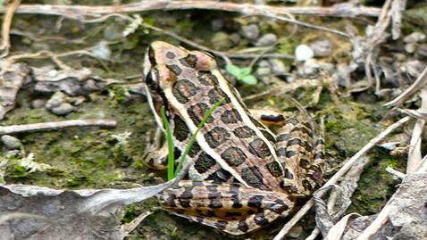 ALS-woodfrog.jpg