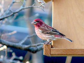 male purple finch2.jpg