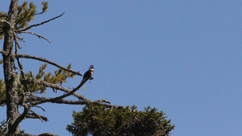 ALS-kingfisher2.jpg