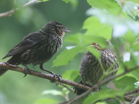 female red winged blackbird.jpg