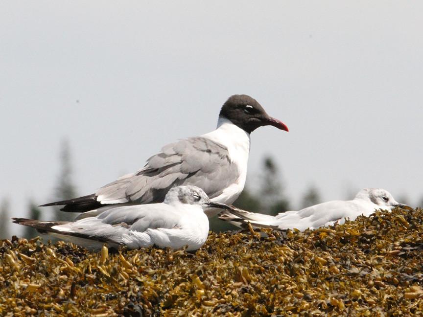 MCWR28 - black headed gull and tern.jpg