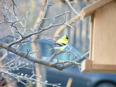small goldfinch.jpg