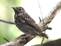 juvenile hermit thrush.jpg