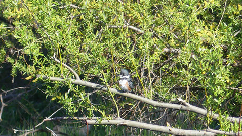 ALS-kingfisher3.jpg