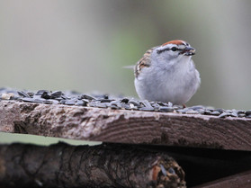 chipping sparrow.jpg
