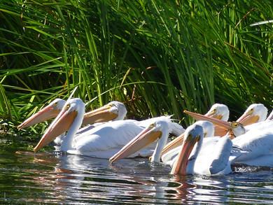 MCWR40 - american pelican.jpg