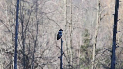 ALS-kingfisher6.jpg