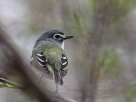 blue headed vireo.jpg