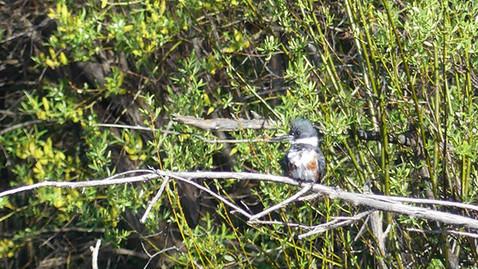 ALS-kingfisher4.jpg