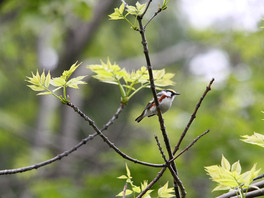 chestbut sided warbler.jpg