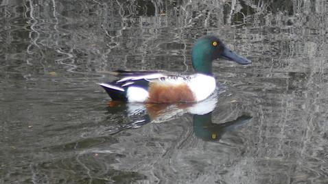 ALS-wood duck2.jpg