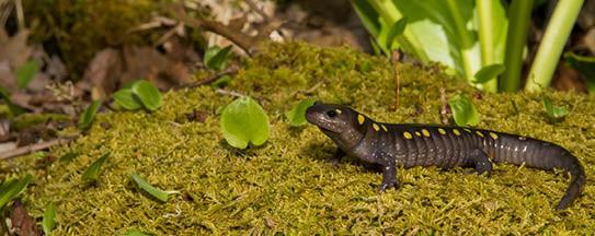 FBS-spotted salamander.jpg
