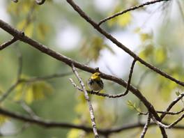 black throated warbler.jpg