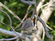 white crowned sparrow2.jpg