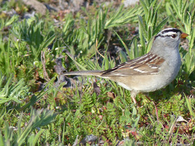 white crowned sparrow.jpg