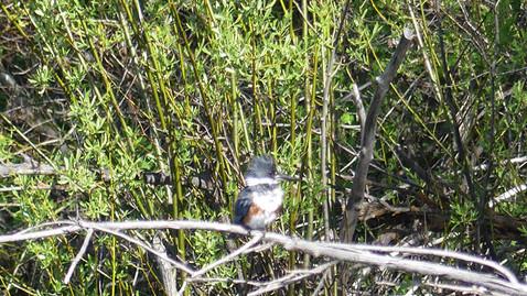 ALS-kingfisher5.jpg