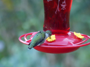 It's Hummingbird Season! How To Be Prepared