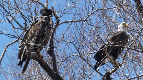 ALS-eagle3.jpg