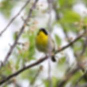 common yellow warbler.jpg