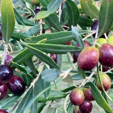 El olivo. Y todo me parece milagro