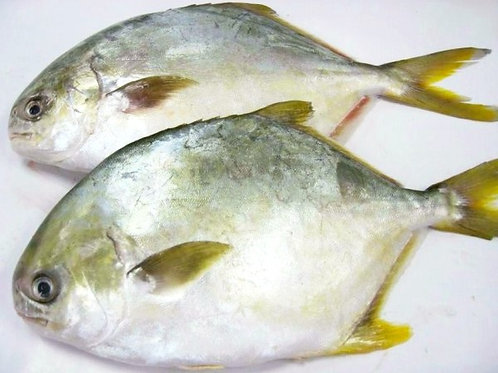 3037 Golden Pomfret