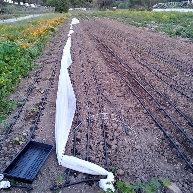 Our first 5 beds in the main field. Previously we planted a few rows in the small market garden.