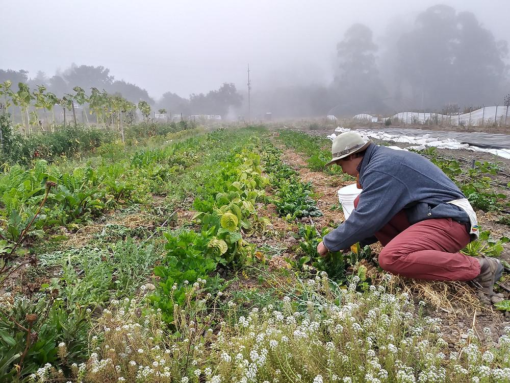 Farmer Angie weeding spinach