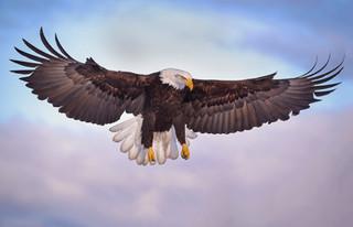 Bald Eagle in Landing Mode: Alaska