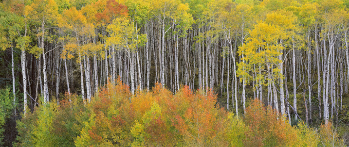 Autumn Aspens, McClure Pass, Colorado