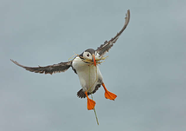 Atlantic Puffin with Nesting Material, United Kingdom