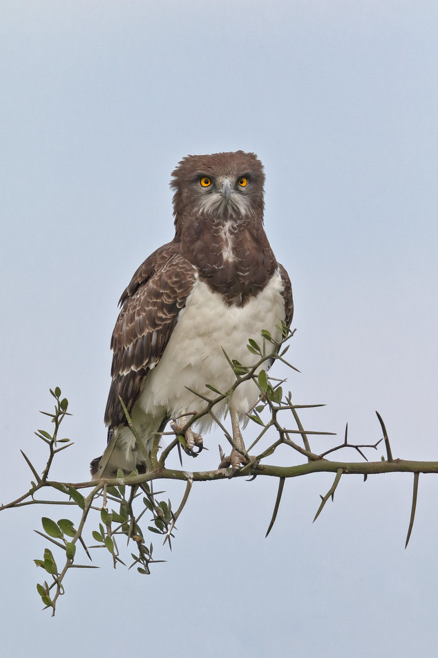 Black-chested Snake Eagle, Tanzania
