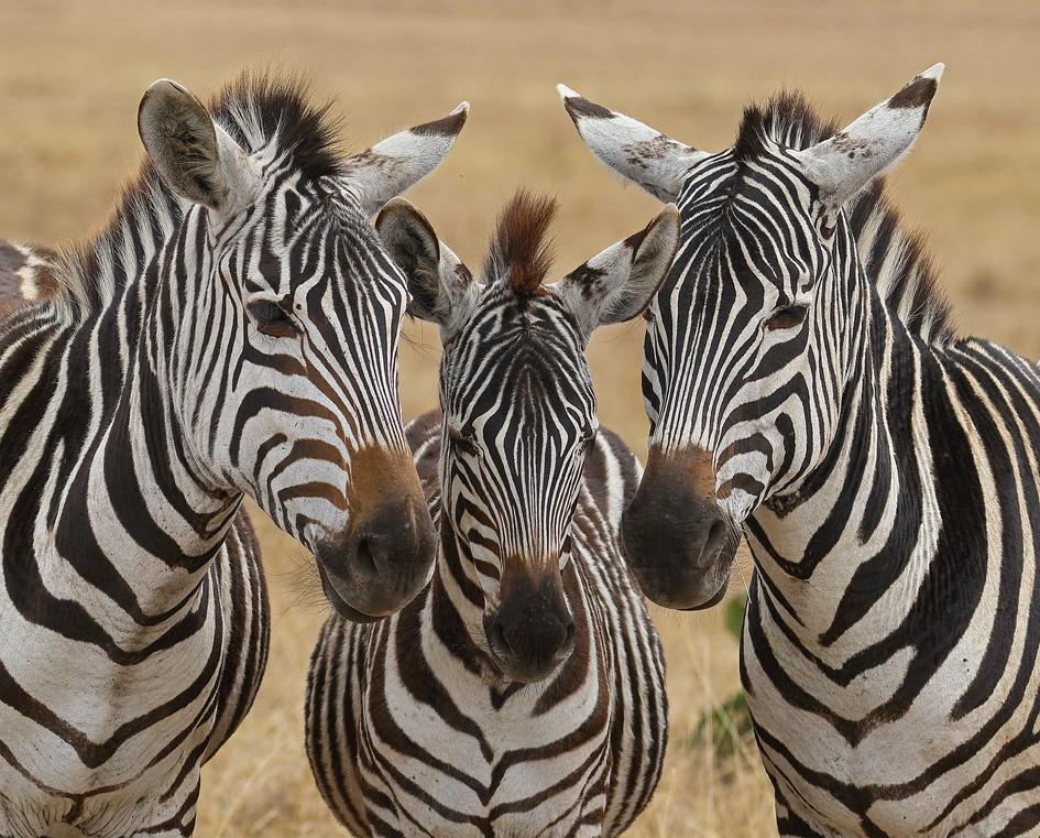 Three Zebras, Tanzania