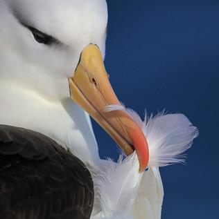 Black-browed Albatross Preening, Falkland Islands