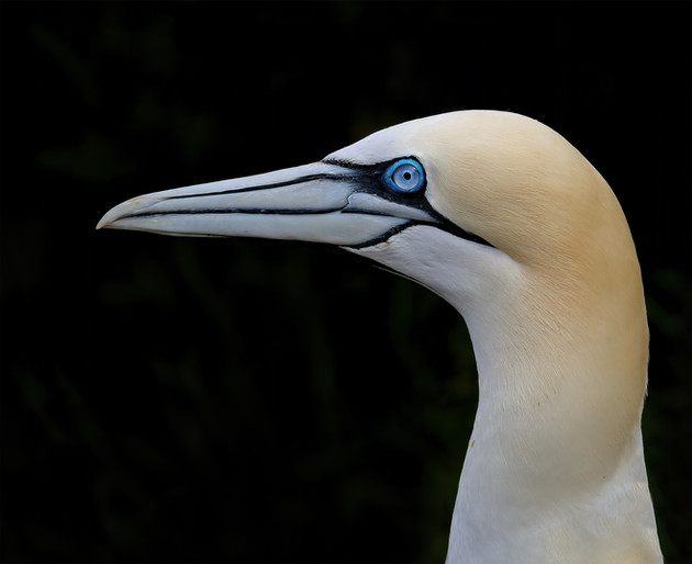 Northern Gannet Head Portrait, United Kingdom