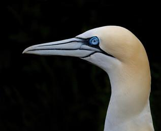 Northern Gannet Head Portrait, United Kingdom