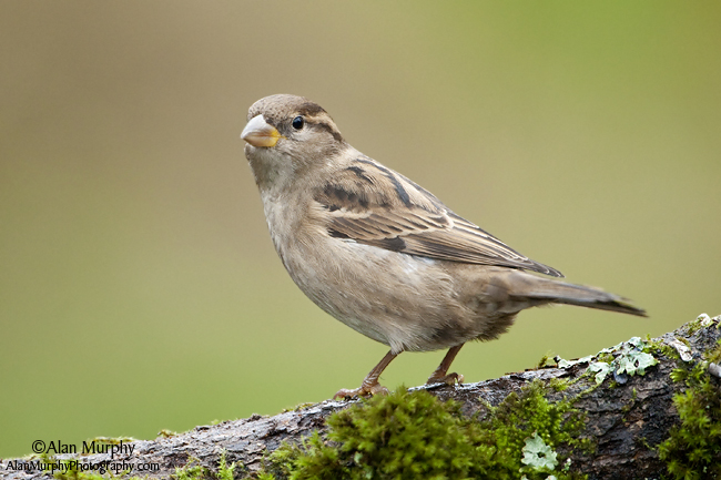 5 | House Sparrow | Victoria | BC | May