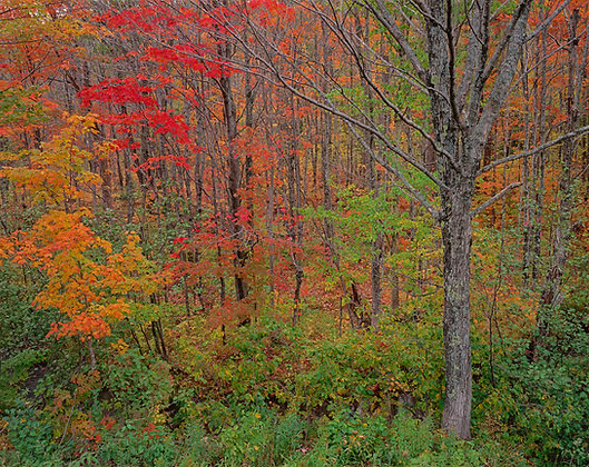 Upper Peninsula Michigan Autumn Maples