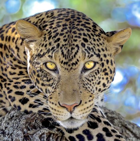 Male Leopard's Gaze, Tanzania
