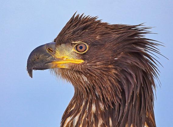 Young Bald Eagle Head Portrait