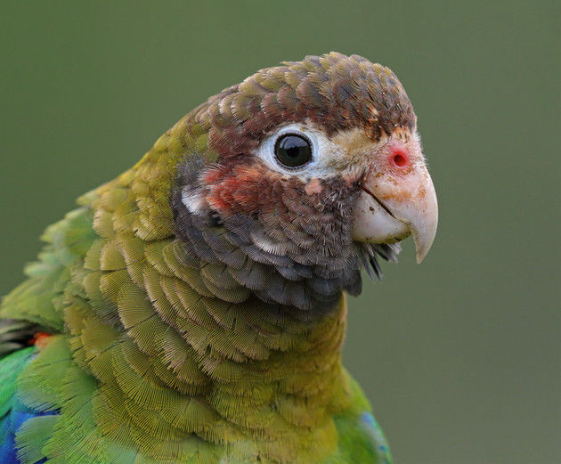 Brown-headed Parrot, Costa Rica
