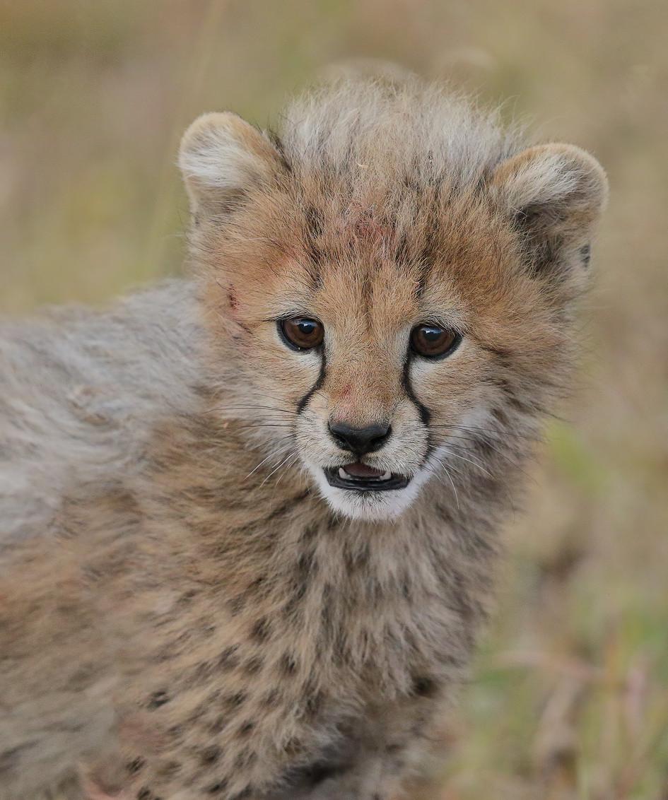Curious Cheetah Cub, Tanzania