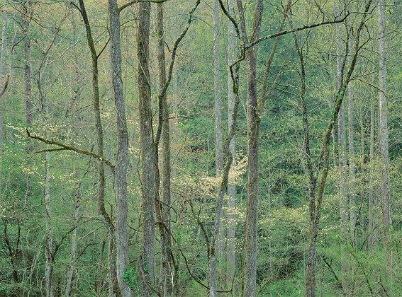 Smoky Mountain Spring Foliage