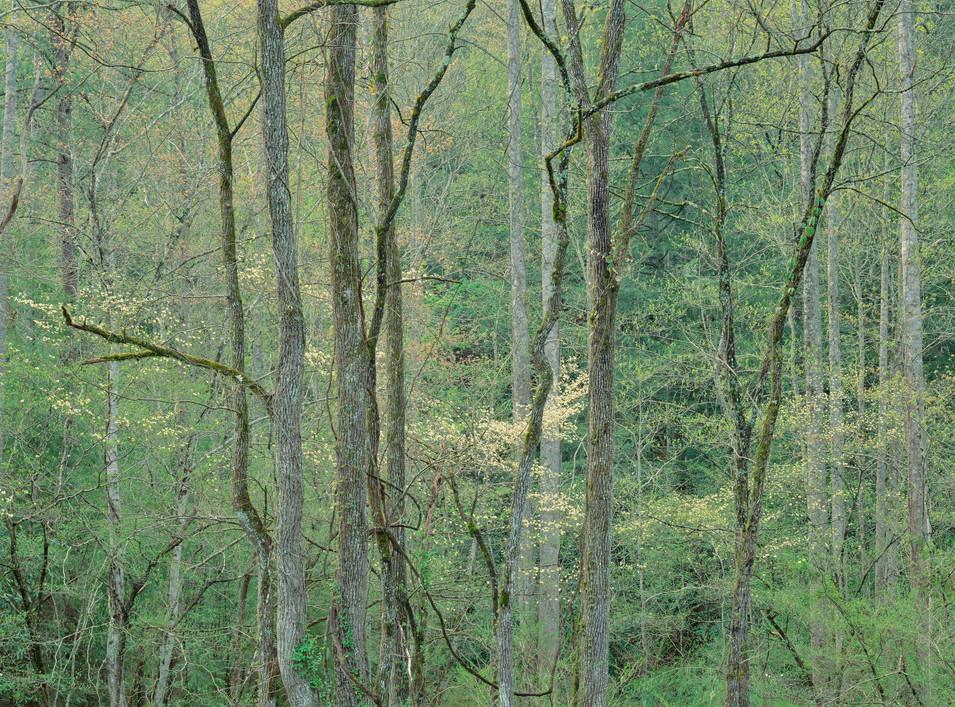 Smoky Mountain Spring Foliage, Tennessee